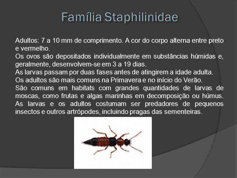 Adultos: 7 a 10 mm de comprimento. A cor do corpo alterna entre preto e vermelho. Os ovos são depositados individualmente em substâncias húmidas e, ge