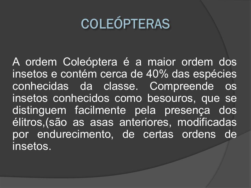 A ordem Coleóptera é a maior ordem dos insetos e contém cerca de 40% das espécies conhecidas da classe. Compreende os insetos conhecidos como besouros