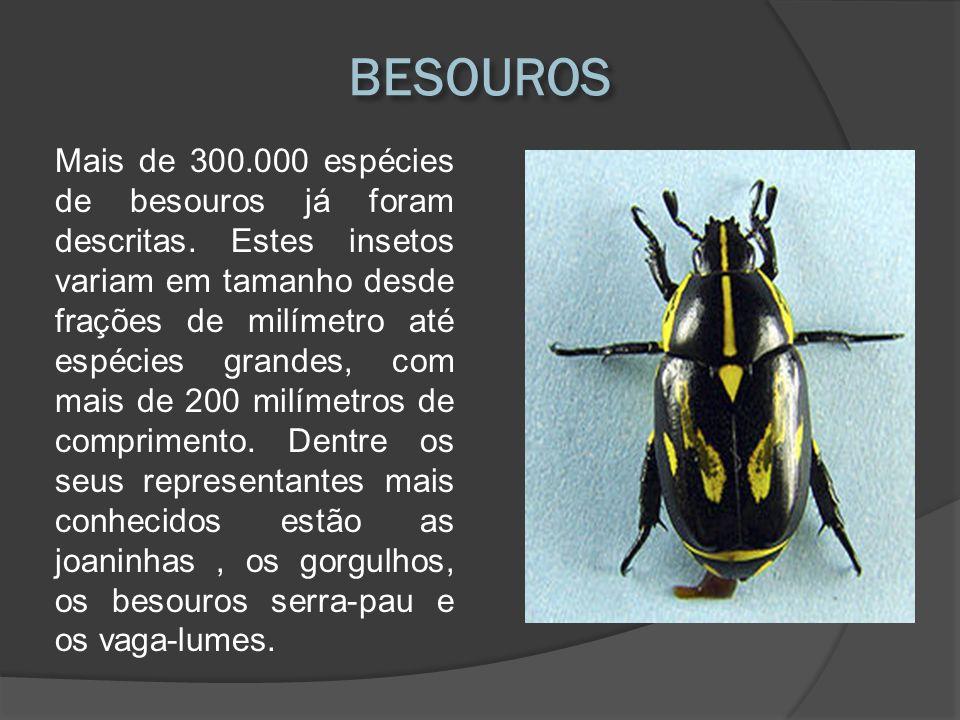 Mais de 300.000 espécies de besouros já foram descritas. Estes insetos variam em tamanho desde frações de milímetro até espécies grandes, com mais de