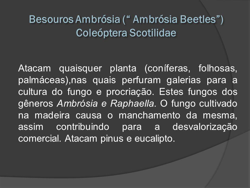 Atacam quaisquer planta (coníferas, folhosas, palmáceas),nas quais perfuram galerias para a cultura do fungo e procriação. Estes fungos dos gêneros Am
