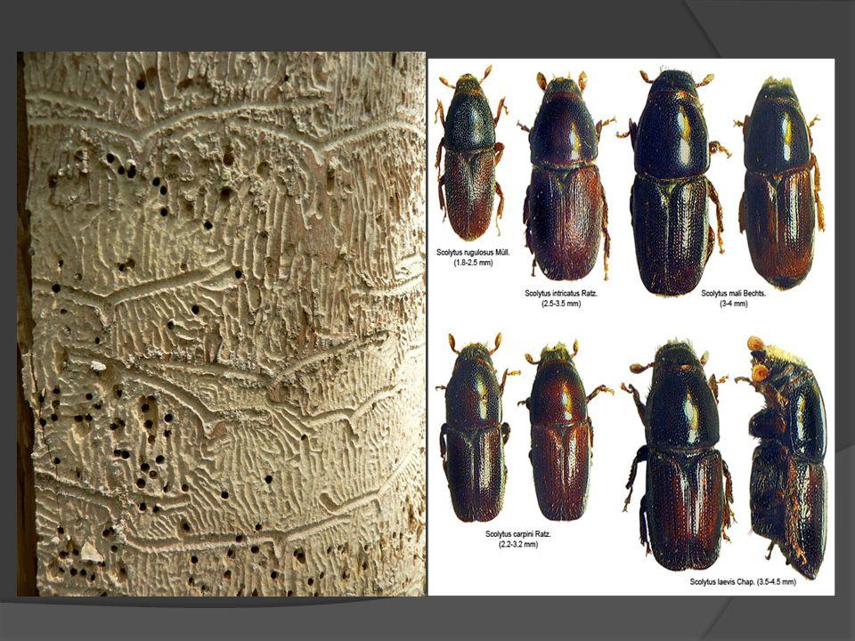 São insetos pequenos, ovais ou cilíndricos, com o protórax cobrindo parcialmente a cabeça quando está deflexionada.