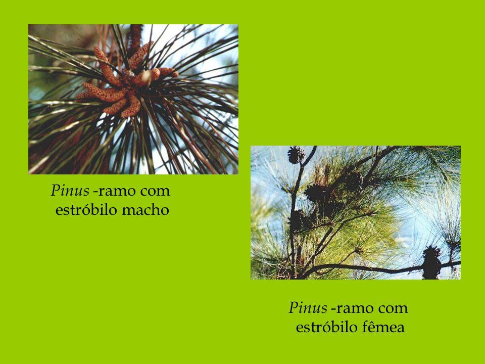 Pinus - ramo com estróbilo macho Pinus -ramo com estróbilo fêmea