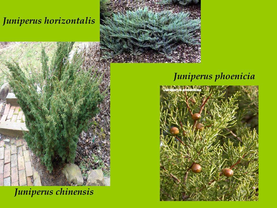 Juniperus horizontalis Juniperus chinensis Juniperus phoenicia