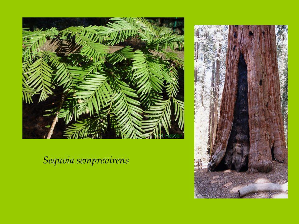 Sequoia semprevirens