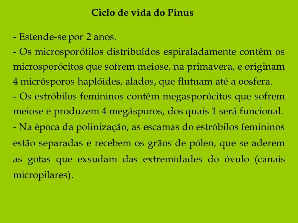 Ciclo de vida do Pinus - Estende-se por 2 anos. - Os microsporófilos distribuídos espiraladamente contêm os microsporócitos que sofrem meiose, na prim