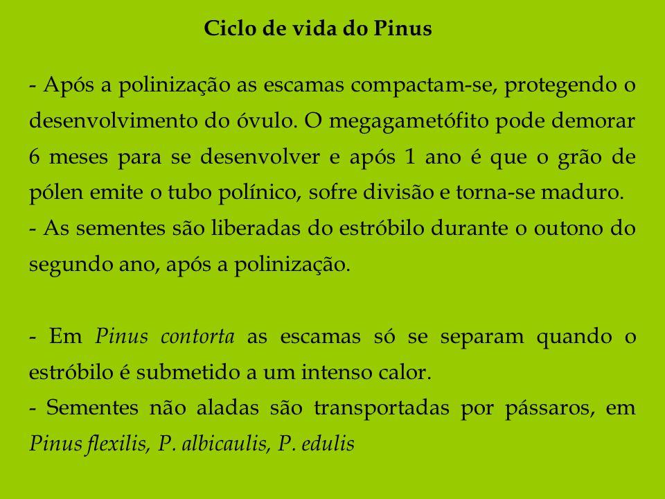 Ciclo de vida do Pinus - Após a polinização as escamas compactam-se, protegendo o desenvolvimento do óvulo. O megagametófito pode demorar 6 meses para