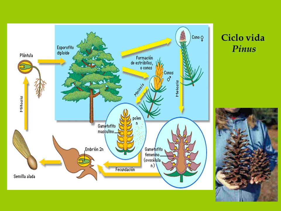 Ciclo vida Pinus