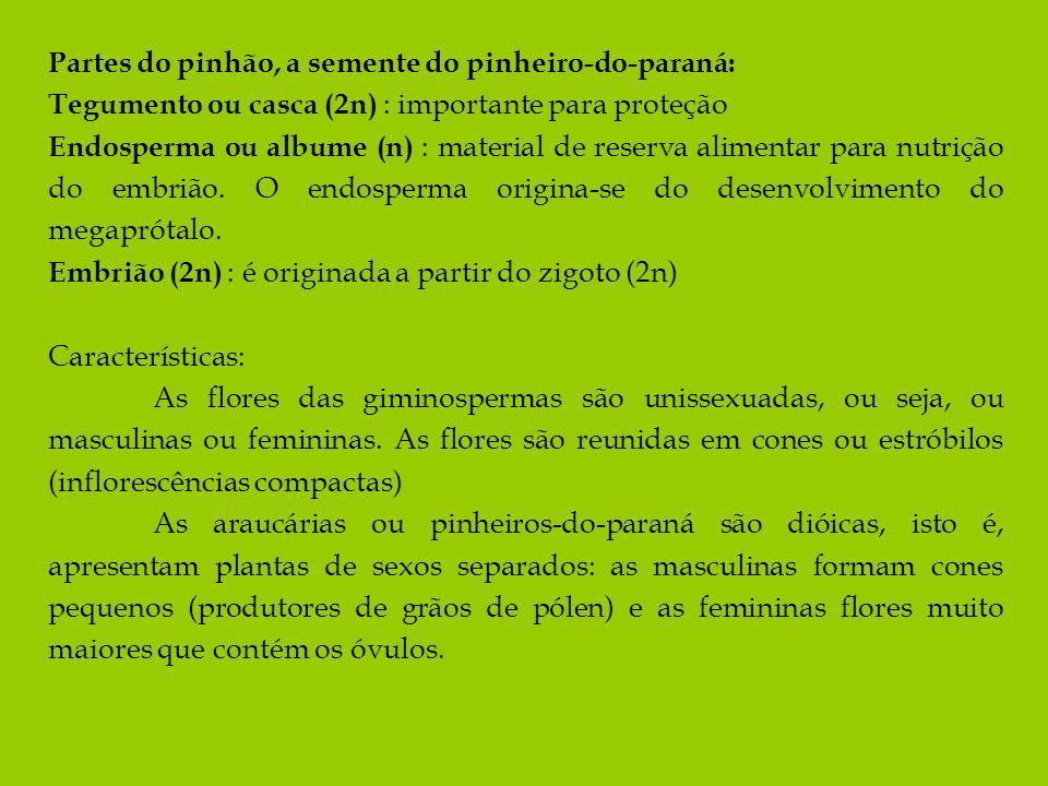 Partes do pinhão, a semente do pinheiro-do-paraná: Tegumento ou casca (2n) : importante para proteção Endosperma ou albume (n) : material de reserva a