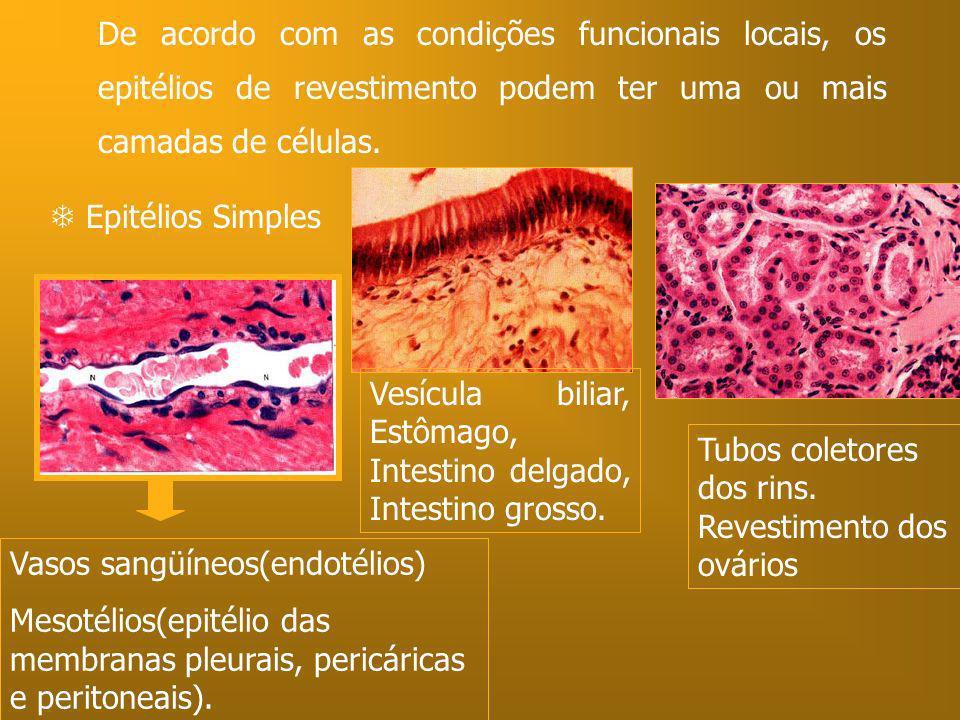 De acordo com as condições funcionais locais, os epitélios de revestimento podem ter uma ou mais camadas de células. Epitélios Simples Vasos sangüíneo