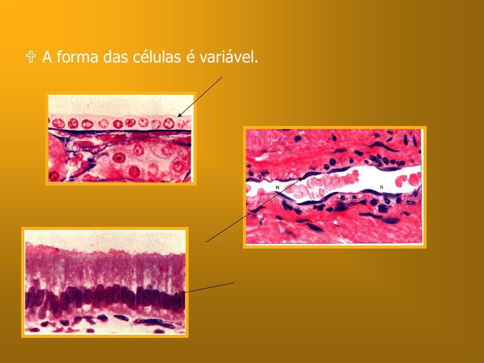 A forma das células é variável.