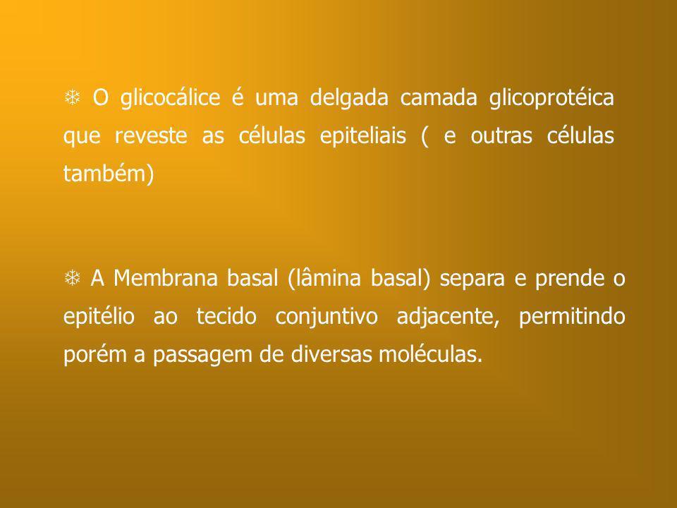 O glicocálice é uma delgada camada glicoprotéica que reveste as células epiteliais ( e outras células também) A Membrana basal (lâmina basal) separa e