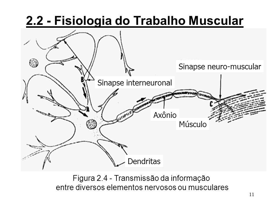 10 2.2 - Fisiologia do Trabalho Muscular 3Os movimentos são comandados pelos centros motores corticais com uma frequência de influxo que leva a uma resposta do músculo em tétanos perfeitos (40/s); 3As intervenções dos centros motores são conscientes, mas, na medida em que se estabelece um condicionamento, a execução do movimento passa ocorrer sem intervenção da consciência (automatismo).