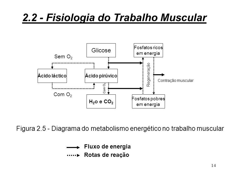 13 Ao nível dos músculos esta cobertura se fará: 3 diretamente, a partir da glicose ou do metabolismo dos ácidos graxos, segundo o tipo de músculo;.