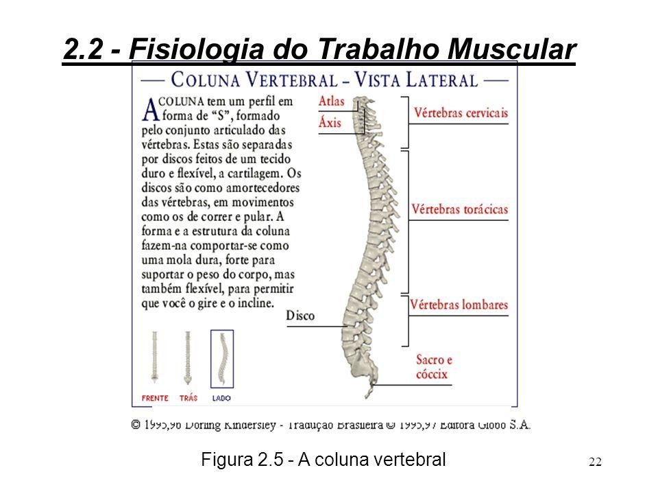 21 3Das 33 vértebras, apenas 24 são flexíveis e, destas, as que têm mais mobilidade são as cervicais e as lombares; 3As vértebras dorsais estão unidas a 12 pares de costelas, formando a caixa torácica, que limitam os movimentos; 3Entre uma vértebra e outra existe um disco intervertebral cartilaginoso.