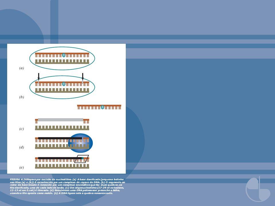 FIGURA 4.28 Reparo de pareamento errado em E.coli.
