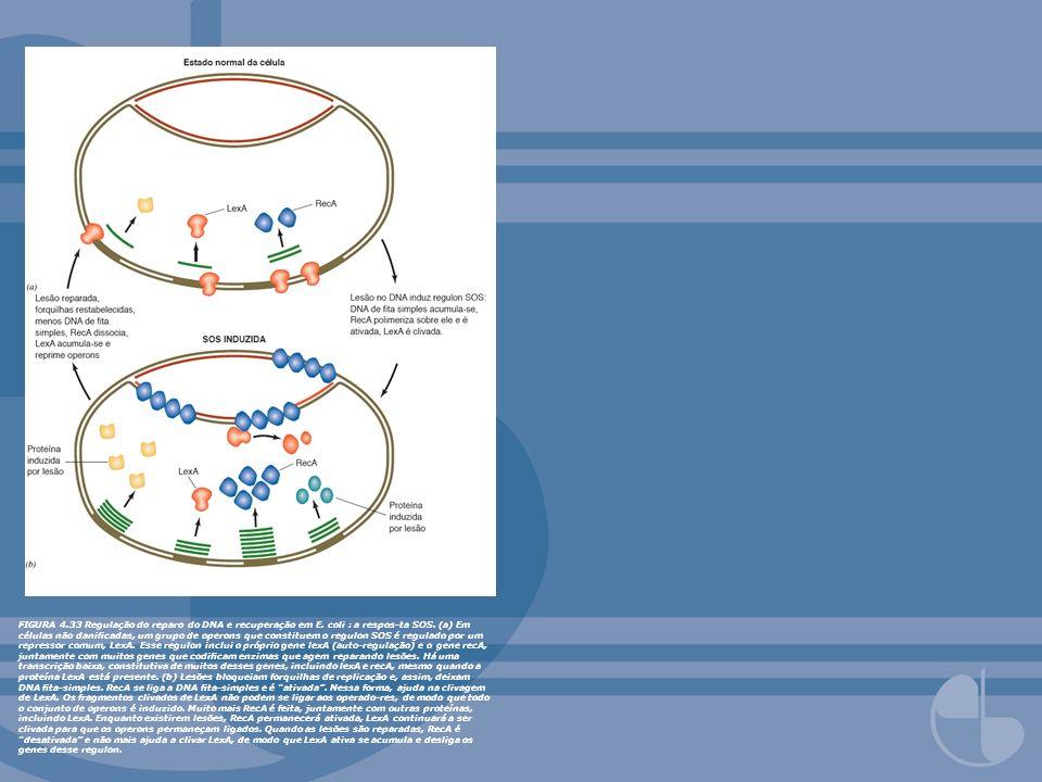 FIGURA 4.33 Regulação do reparo do DNA e recuperação em E. coli : a respos-ta SOS. (a) Em células não danicadas, um grupo de operons que constituem o