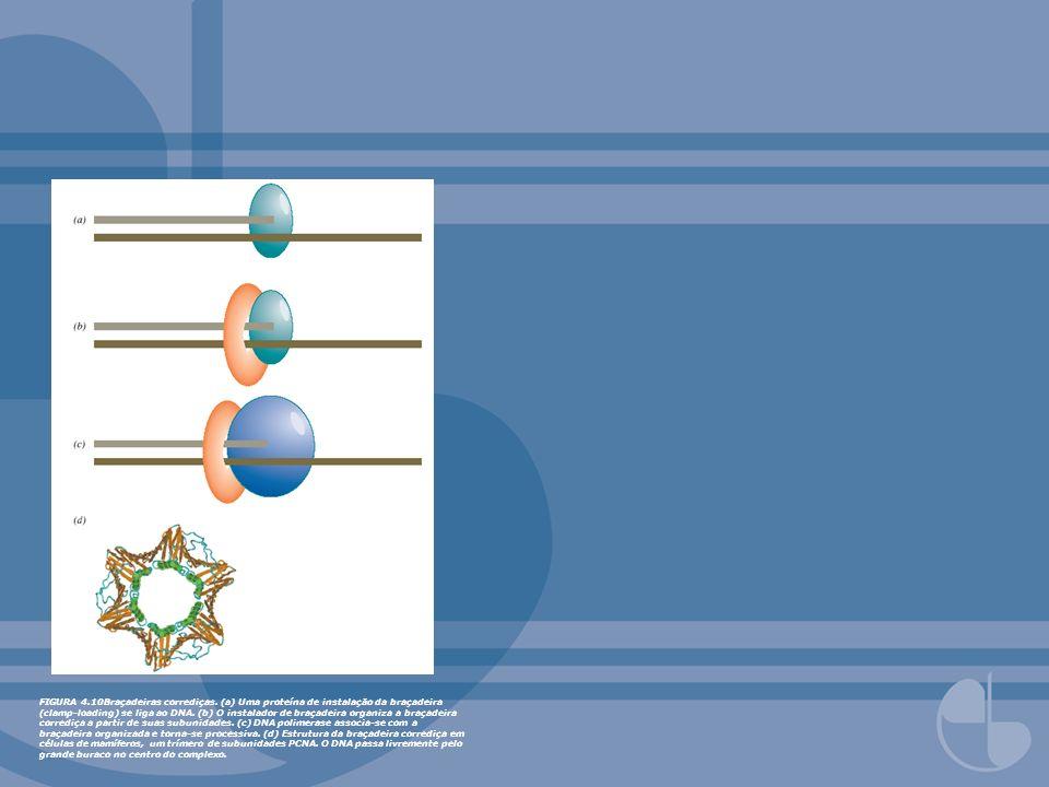 FIGURA 4.12 Enzimas da replicação em E.coli.