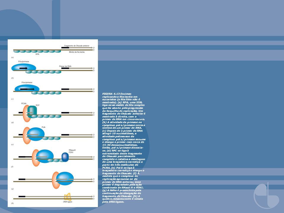 FIGURA 4.14 Replicons em seqüência e replicação bidirecional em eucariotos.