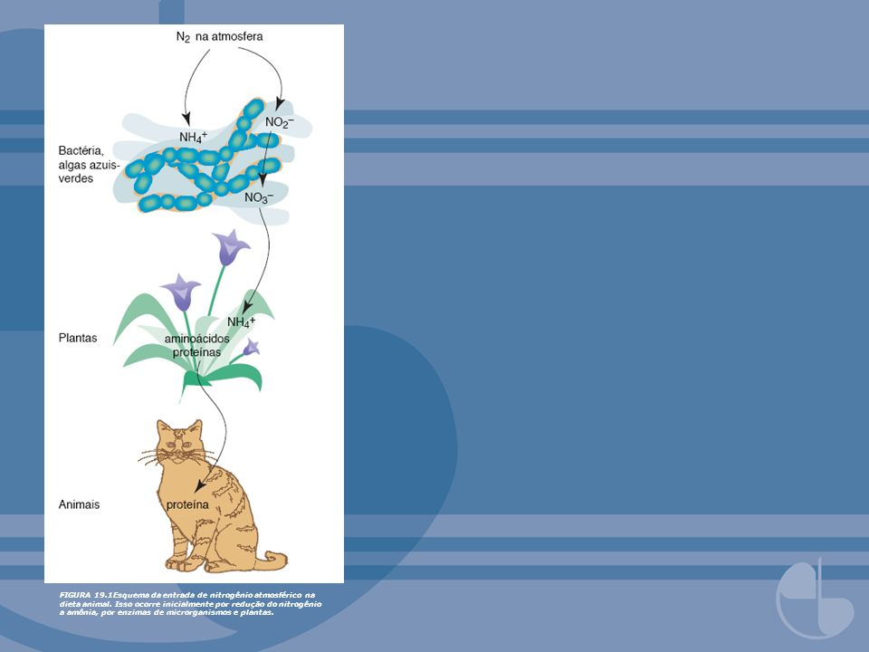 FIGURA 19.2Destino metabólico de (a) aminoácidos não- essenciais e (b) aminoácidos essenciais mais cisteína e tirosina.