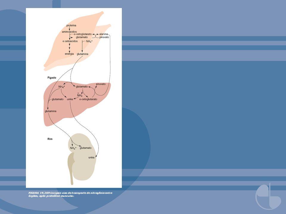 FIGURA 19.25Fumarato do ciclo da uréia é uma fonte de glicose (1), aspartato (2) ou energia (3).