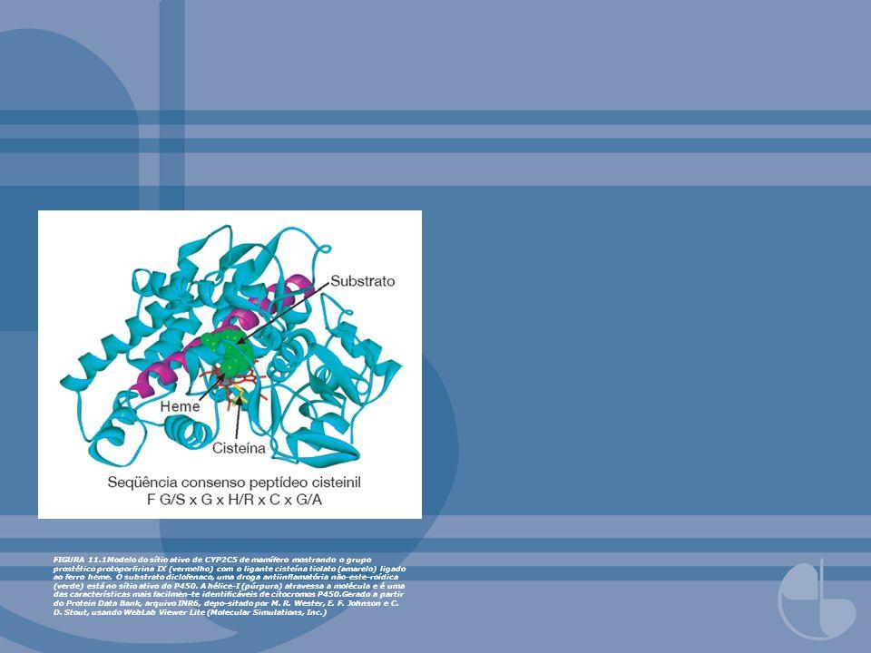 FIGURA 11.1Modelo do sítio ativo de CYP2C5 de mamífero mostrando o grupo prostético protoporrina IX (vermelho) com o ligante cisteína tiolato (amarelo