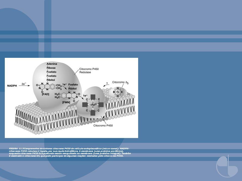 FIGURA 11.5Componentes do sistema citocromo P450 de retículo endoplasmático (micro-somal). NADPH- citocromo P450 redutase é ligada, por sua cauda hidr