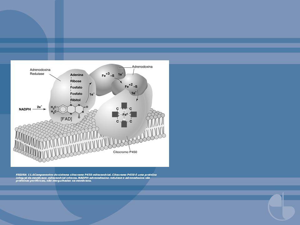 FIGURA 11.6Componentes do sistema citocromo P450 mitocondrial. Citocromo P450 é uma proteína integral da membrana mitocondrial interna. NADPH-adrenodo