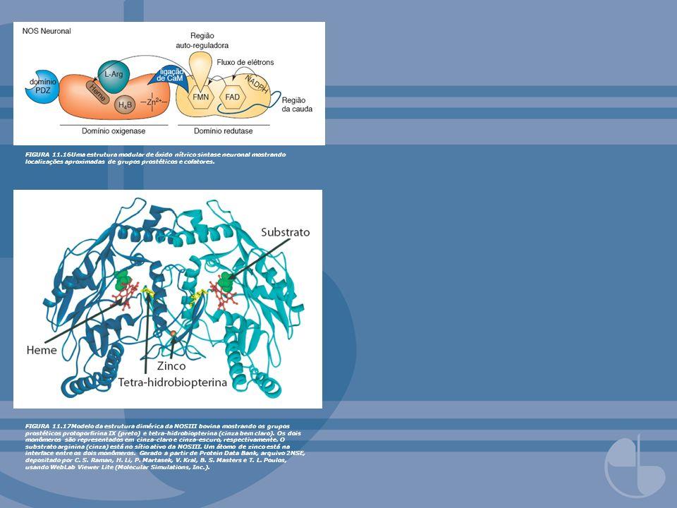 FIGURA 11.16Uma estrutura modular de óxido nítrico sintase neuronal mostrando localizações aproximadas de grupos prostéticos e cofatores. FIGURA 11.17