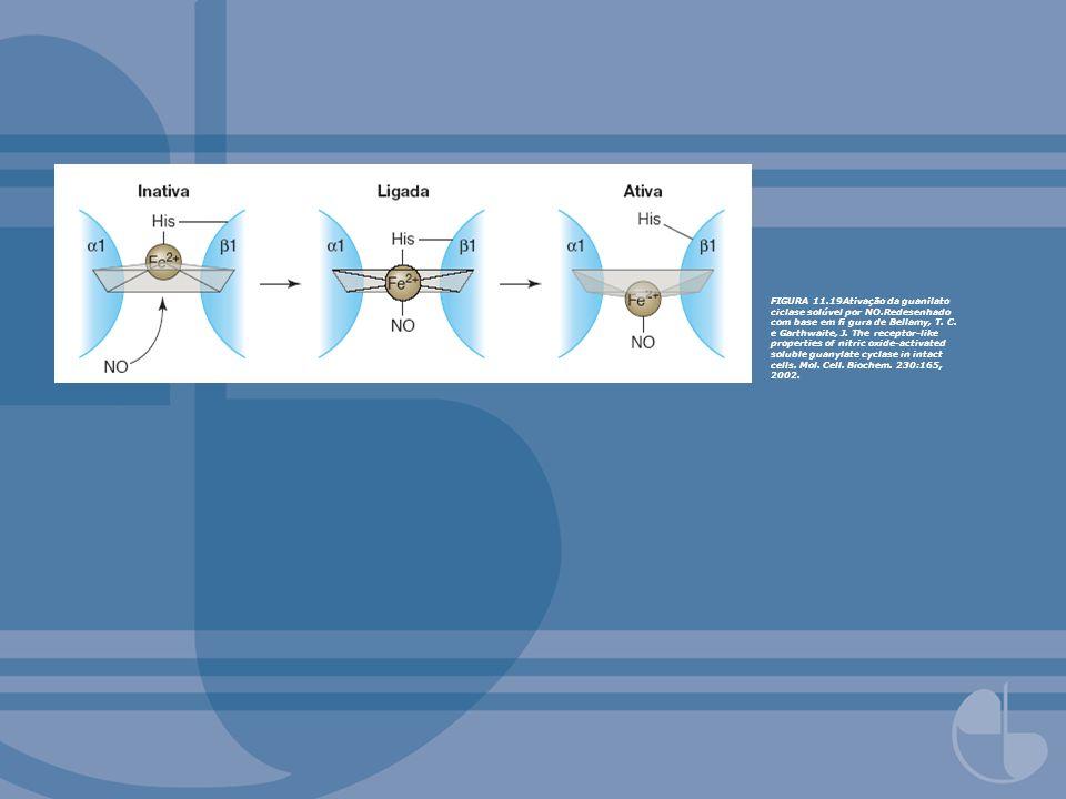 FIGURA 11.19Ativação da guanilato ciclase solúvel por NO.Redesenhado com base em gura de Bellamy, T. C. e Garthwaite, J. The receptor-like properties