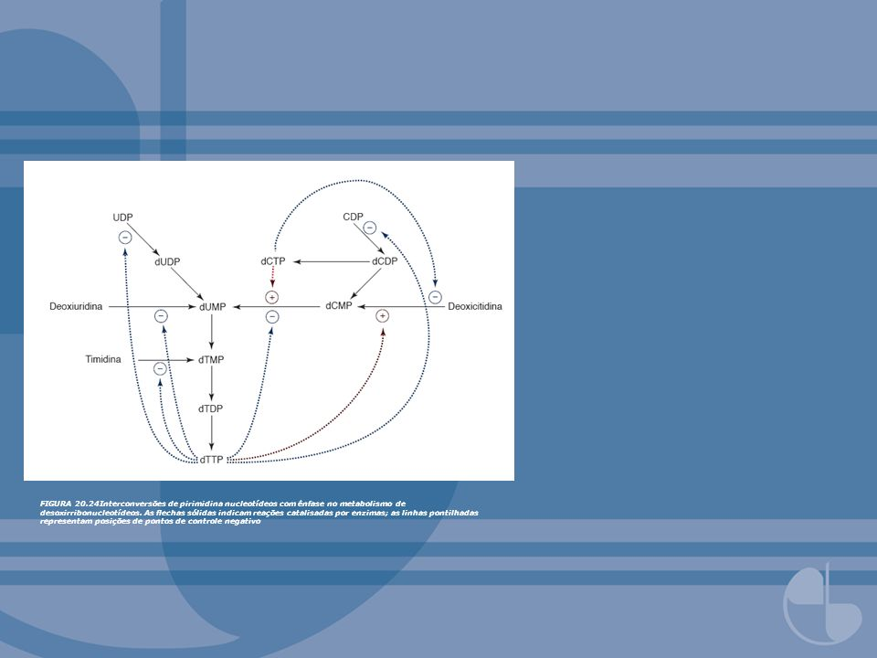 FIGURA 20.24Interconversões de pirimidina nucleotídeos com ênfase no metabolismo de desoxirribonucleotídeos. As echas sólidas indicam reações catalisa