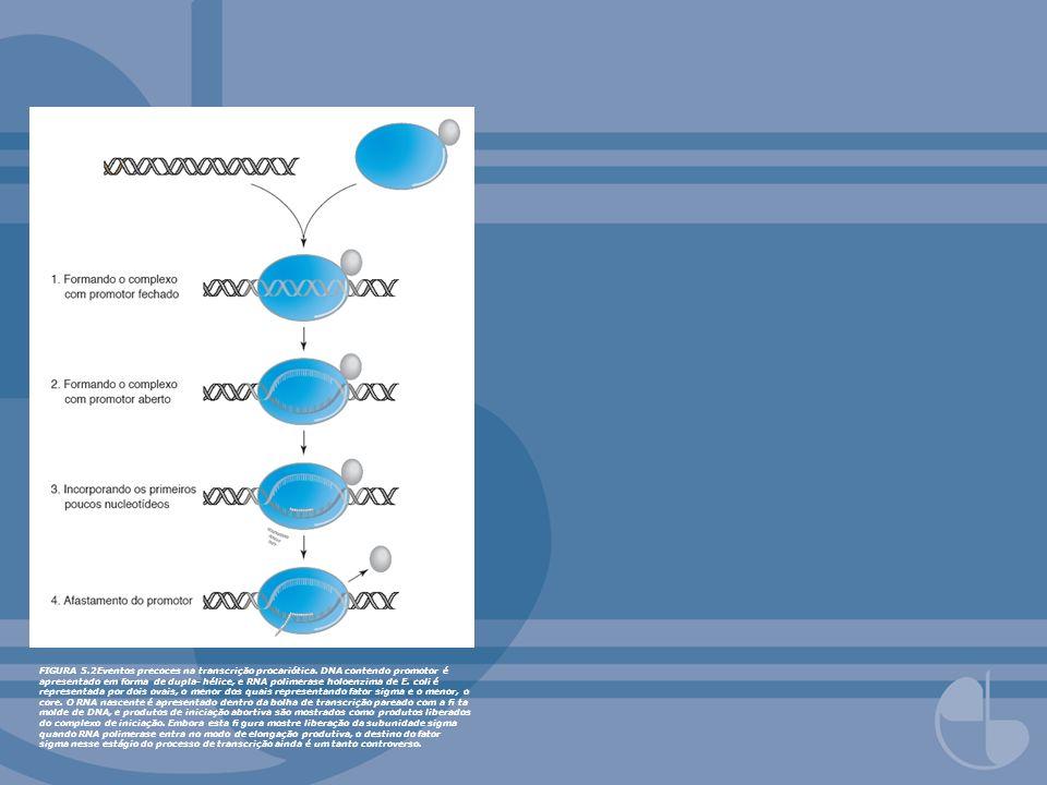FIGURA 5.2Eventos precoces na transcrição procariótica. DNA contendo promotor é apresentado em forma de dupla- hélice, e RNA polimerase holoenzima de