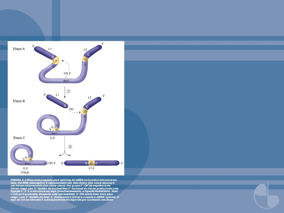 FIGURA 5.14Esquema proposto para splicing de mRNA incluindo a estrutura em laço. Um RNA mensageiro é representado com dois éxons (em cinza-escuro) e u