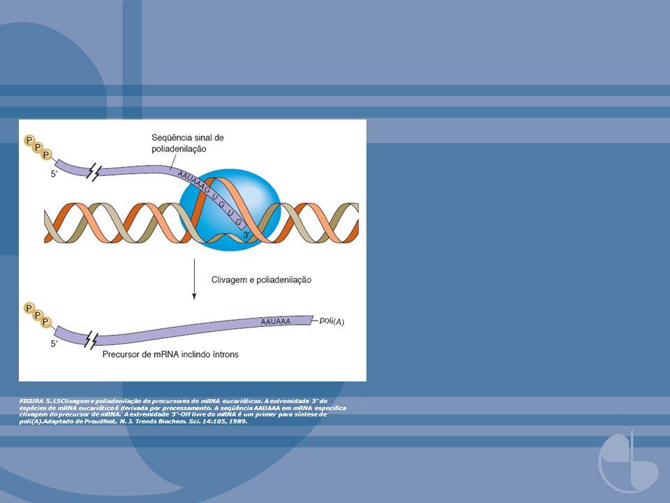 FIGURA 5.15Clivagem e poliadenilação de precursores de mRNA eucarióticos. A extremidade 3 de espécies de mRNA eucariótico é derivada por processamento