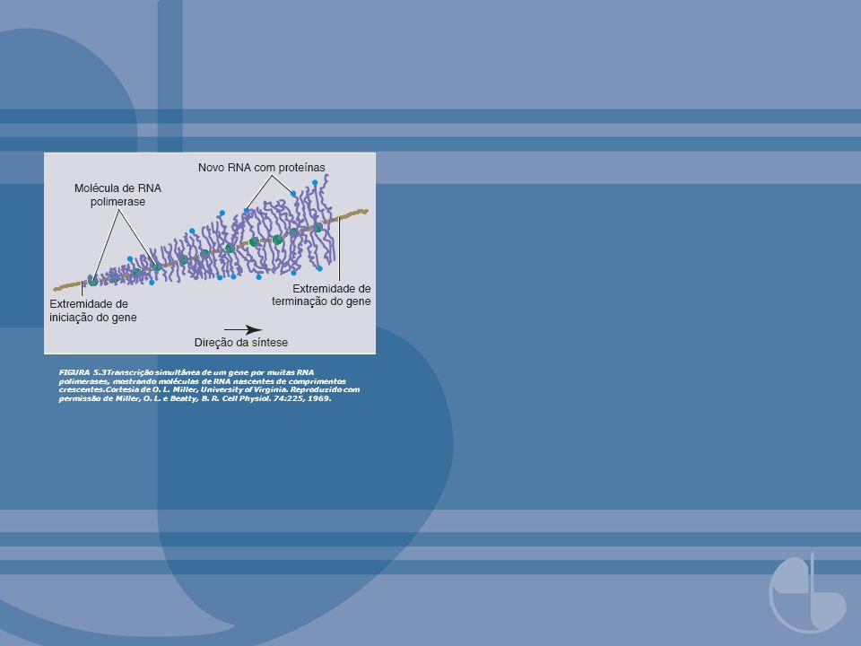 FIGURA 5.3Transcrição simultânea de um gene por muitas RNA polimerases, mostrando moléculas de RNA nascentes de comprimentos crescentes.Cortesia de O.