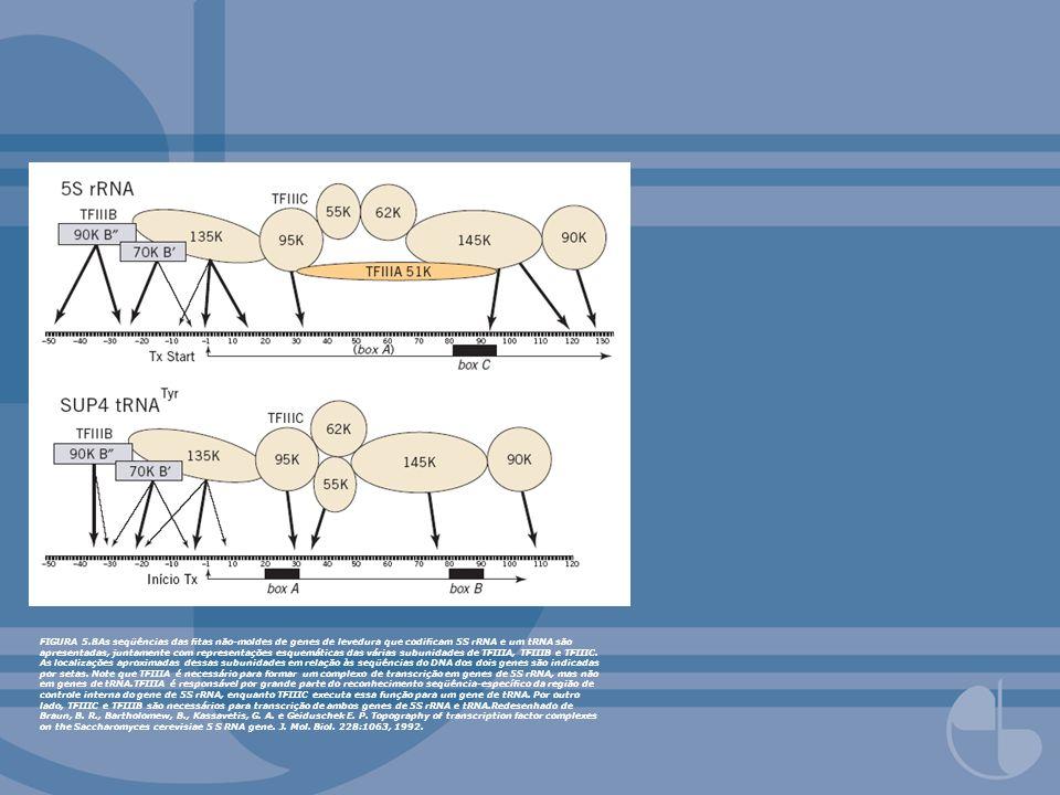 FIGURA 5.8As seqüências das tas não-moldes de genes de levedura que codicam 5S rRNA e um tRNA são apresentadas, juntamente com representações esquemát