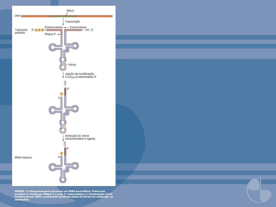 FIGURA 5.10Esquema para processar um tRNA eucariótico. Transcrito primário é clivado por RNase P e uma 3-exonuclease, e a terminação CCA é sintetizada