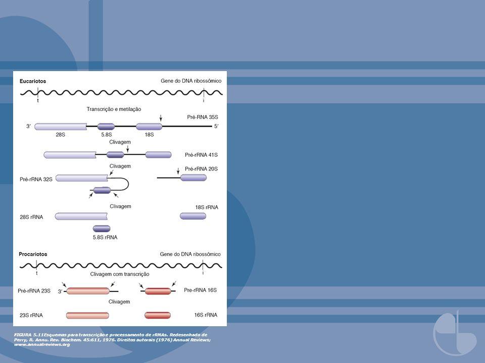 FIGURA 5.11Esquemas para transcrição e processamento de rRNAs. Redesenhado de Perry, R. Annu. Rev. Biochem. 45:611, 1976. Direitos autorais (1976) Ann