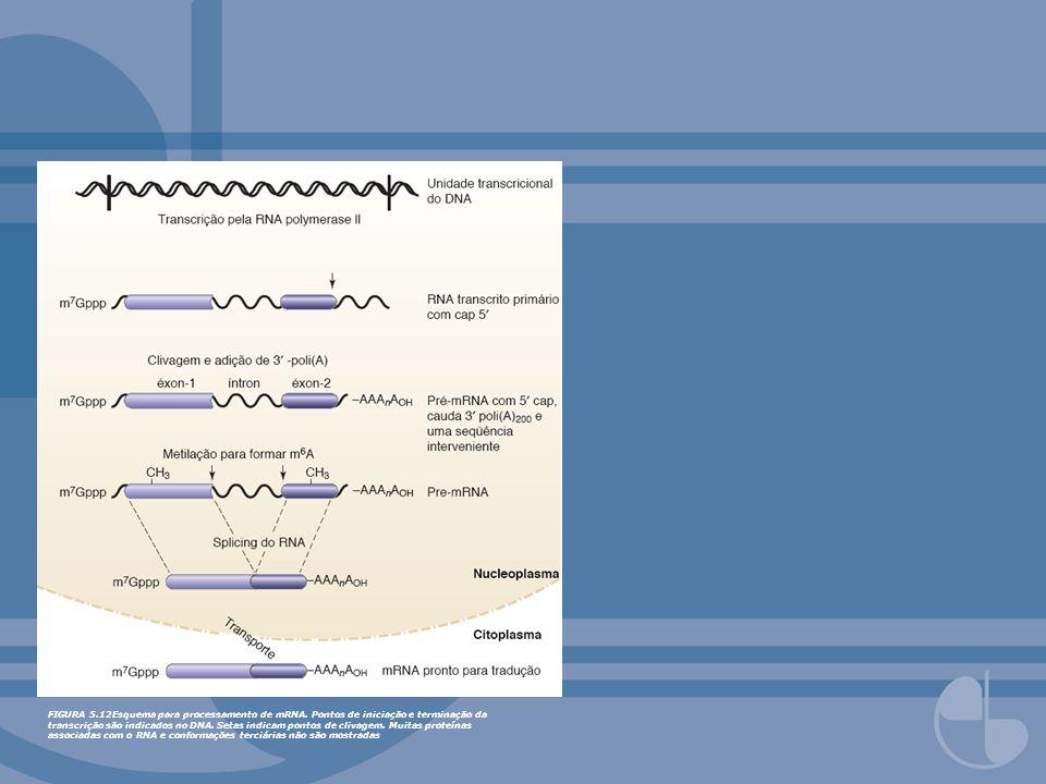 FIGURA 5.12Esquema para processamento de mRNA. Pontos de iniciação e terminação da transcrição são indicados no DNA. Setas indicam pontos de clivagem.