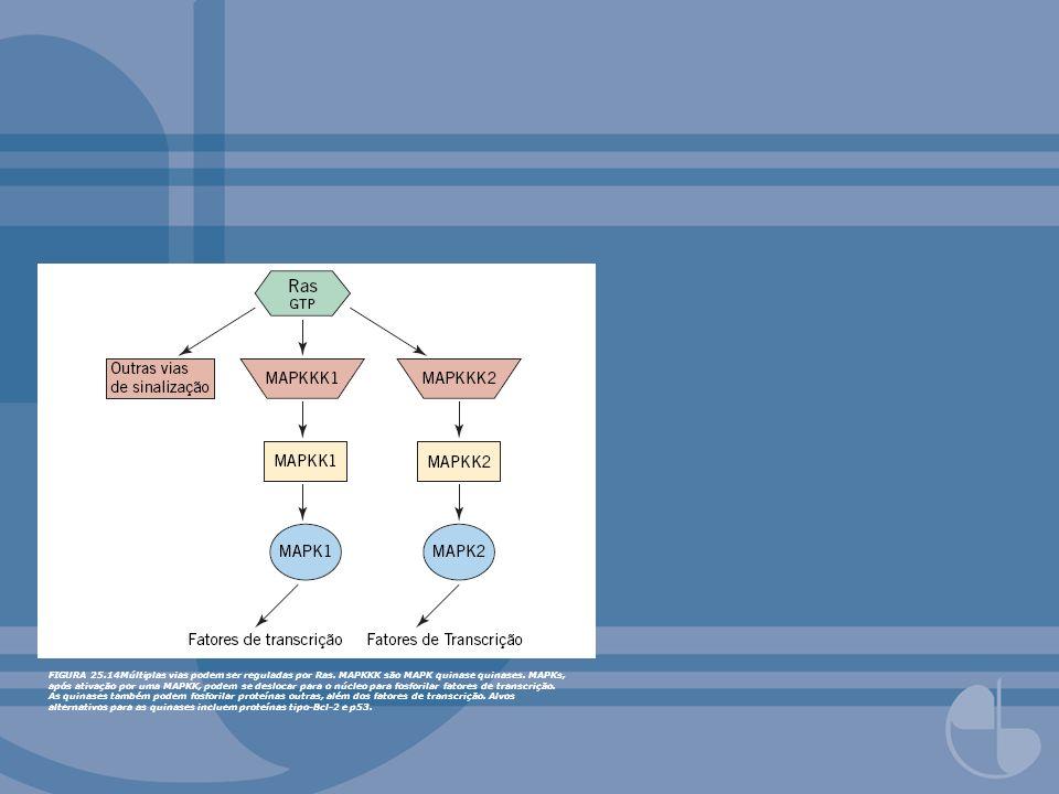 FIGURA 25.14Múltiplas vias podem ser reguladas por Ras. MAPKKK são MAPK quinase quinases. MAPKs, após ativação por uma MAPKK, podem se deslocar para o