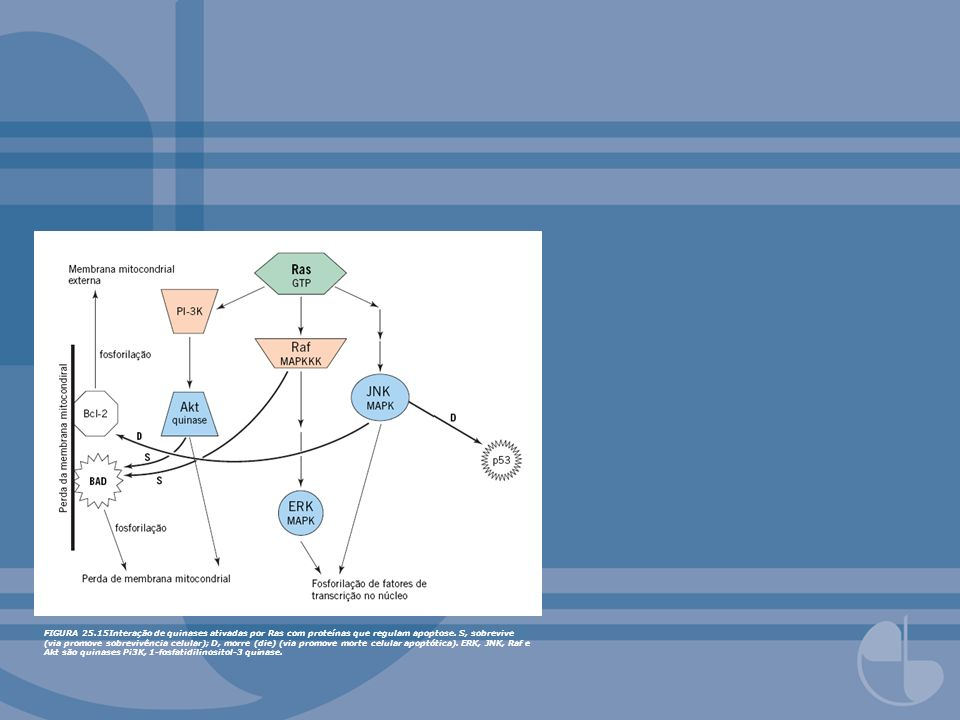 FIGURA 25.15Interação de quinases ativadas por Ras com proteínas que regulam apoptose. S, sobrevive (via promove sobrevivência celular); D, morre (die