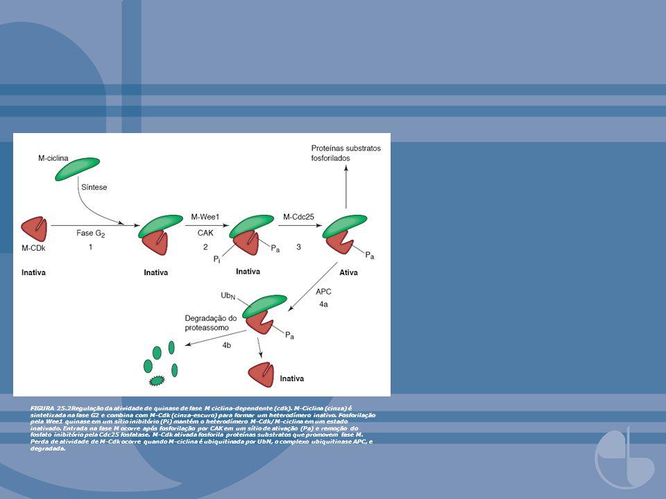 FIGURA 25.18Proteases secretadas geram caminho através da membrana basal na metástase.