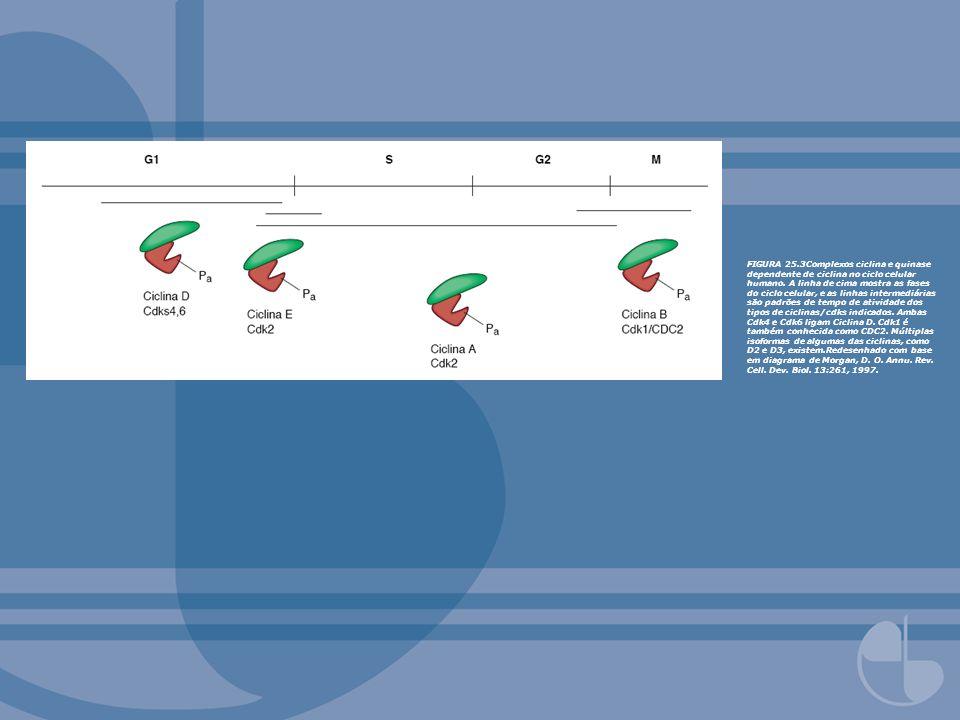 FIGURA 25.3Complexos ciclina e quinase dependente de ciclina no ciclo celular humano. A linha de cima mostra as fases do ciclo celular, e as linhas in