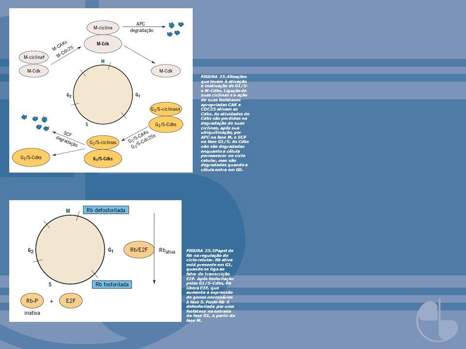 FIGURA 25.4Reações que levam à ativação e inativação de G1/S- e M-Cdks. Ligação de suas ciclinas e a ação de suas fosfatases apropriadas CAK e CDC25 a