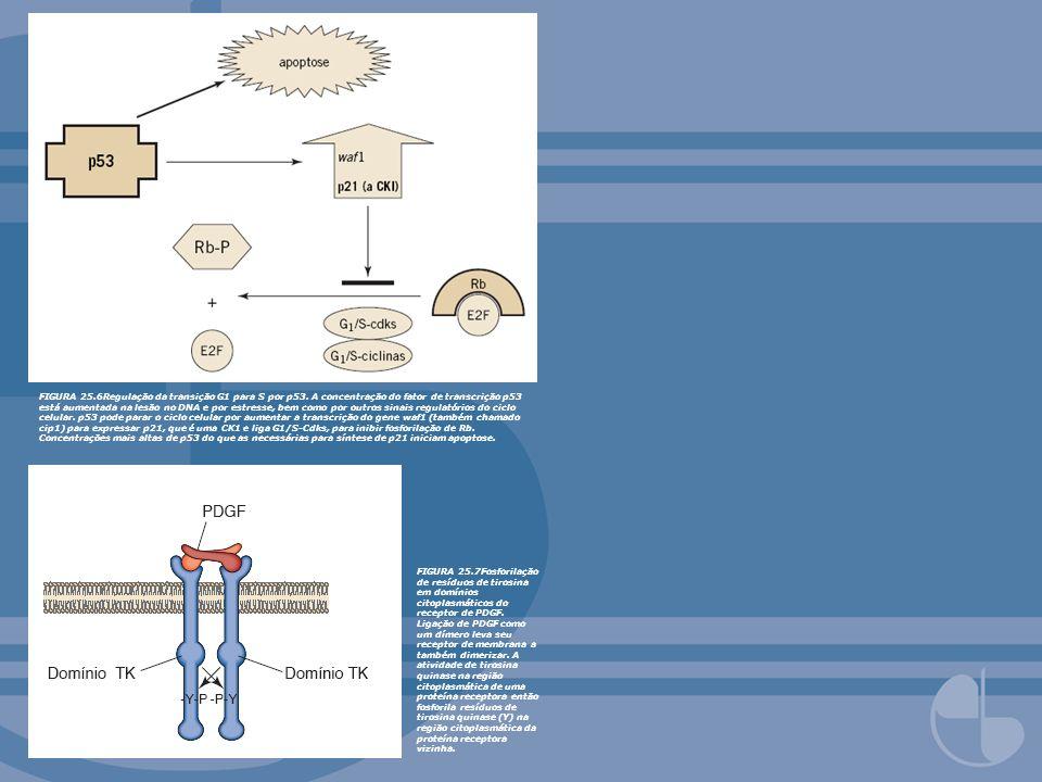 FIGURA 25.6Regulação da transição G1 para S por p53. A concentração do fator de transcrição p53 está aumentada na lesão no DNA e por estresse, bem com