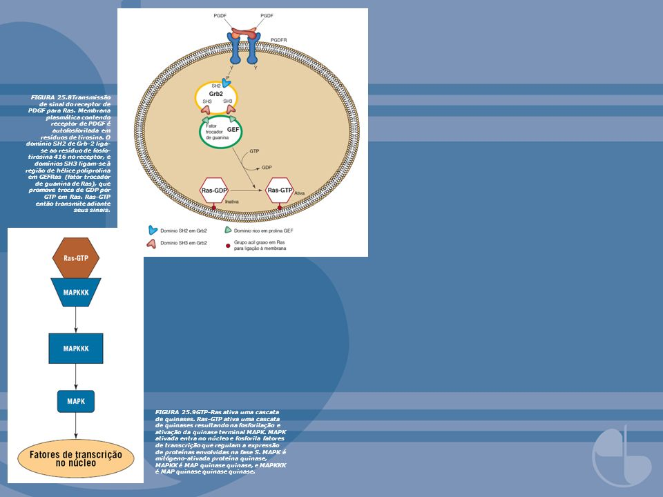 FIGURA 25.8Transmissão de sinal do receptor de PDGF para Ras. Membrana plasmática contendo receptor de PDGF é autofosforilada em resíduos de tirosina.