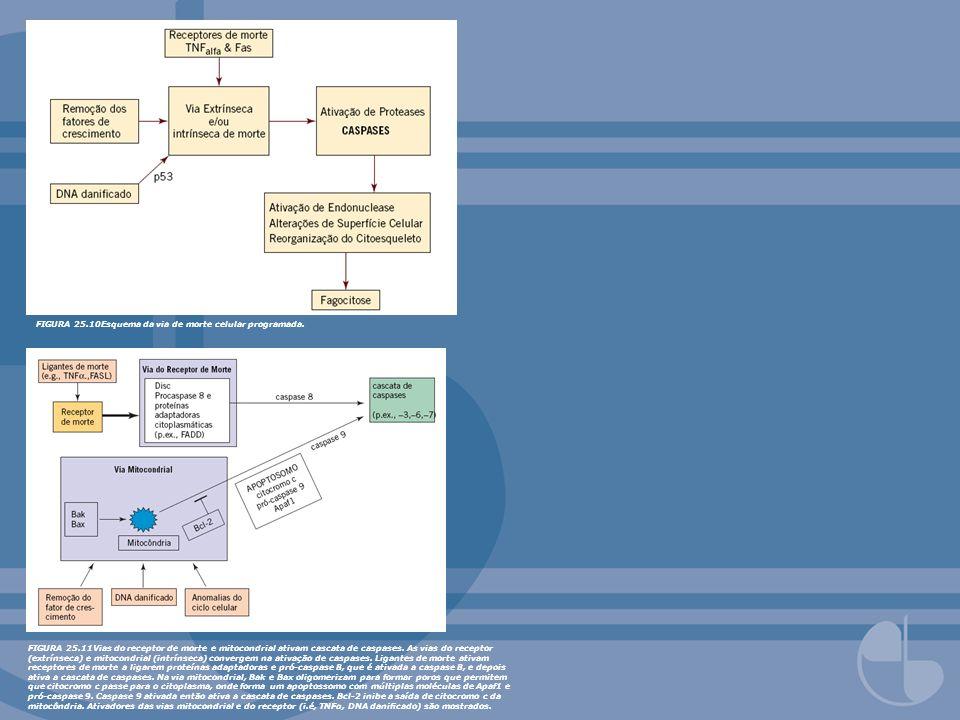 FIGURA 25.12Regulação da apoptose por citocromo c e outras proteínas mitocondriais.