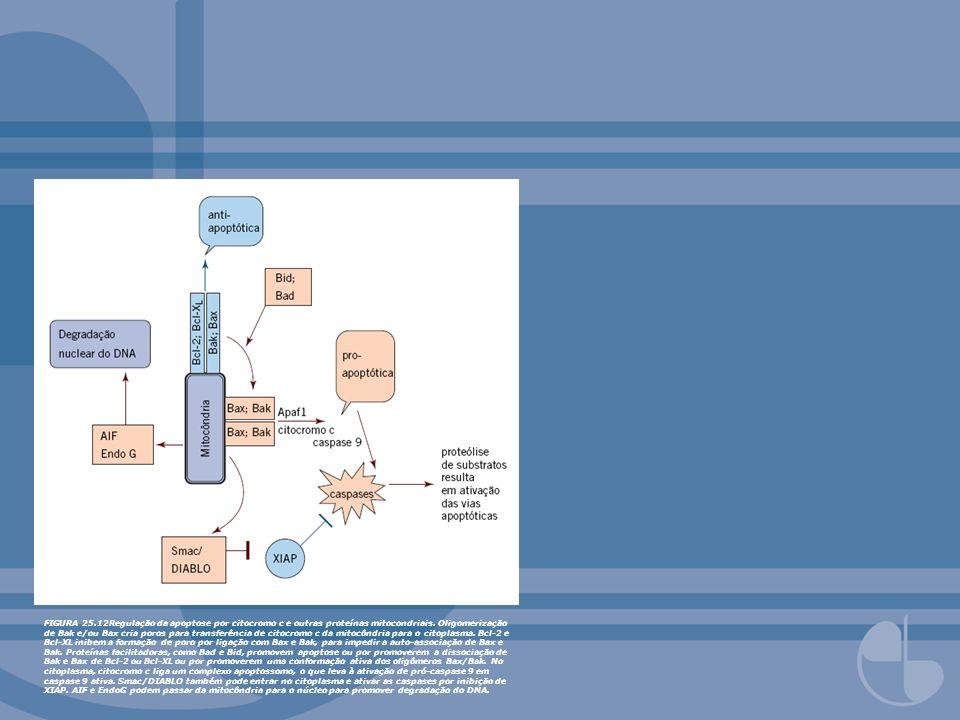 FIGURA 25.13Regulação da atividade de p53.