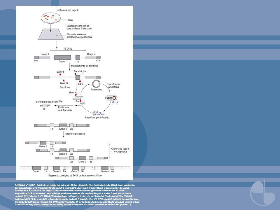 FIGURA 7.20Chromosome walking para analisar segmentos contínuos de DNA num genoma. Inicialmente, um fragmento de DNA é marcado por nick translation pa