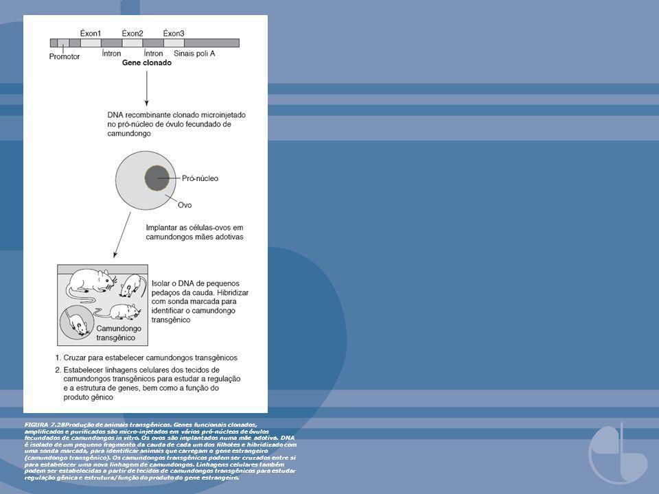 FIGURA 7.28Produção de animais transgênicos. Genes funcionais clonados, amplicados e puricados são micro-injetados em vários pró-núcleos de óvulos fec