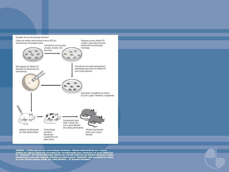FIGURA 7.29Geração de um camundongo knockout. Células embrionárias em cultura podem ser manipuladas por tecnologia de recombinação para conterem um ge